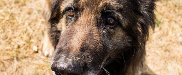 Sabaka – pies do adopcji