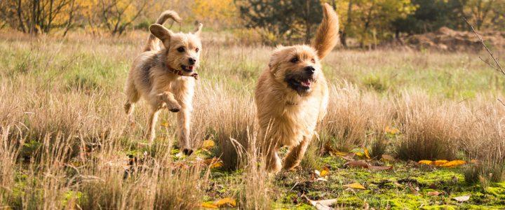 Fibi i Foxi – psy do adopcji