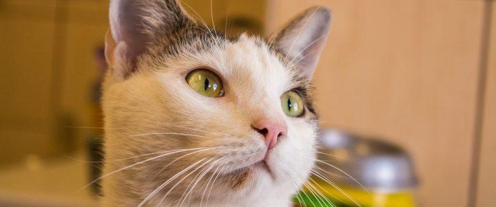 Lemon – kot do adopcji