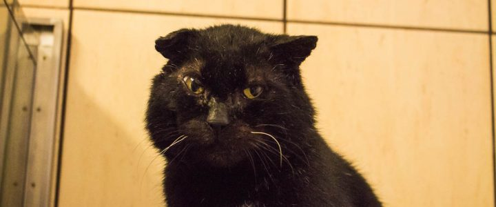 Mufasa – kot do adopcji