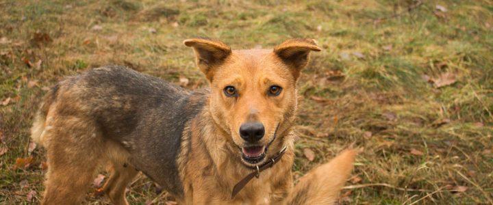 Kora – pies do adopcji