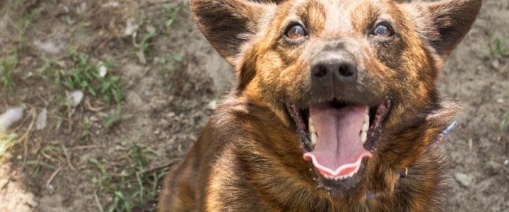 Tygrysek – pies do adopcji