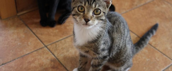 Limba- kotka do adopcji