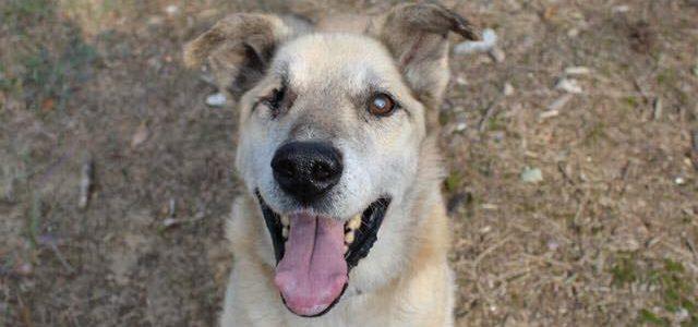 Szeryf- pies do adopcji