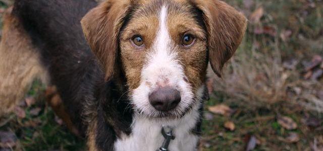 Hubert- pies do adopcji
