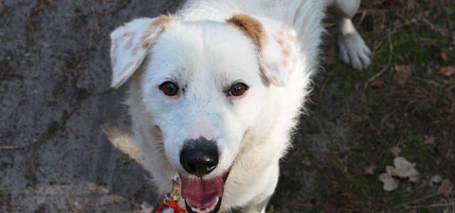 Goździk- pies do adopcji