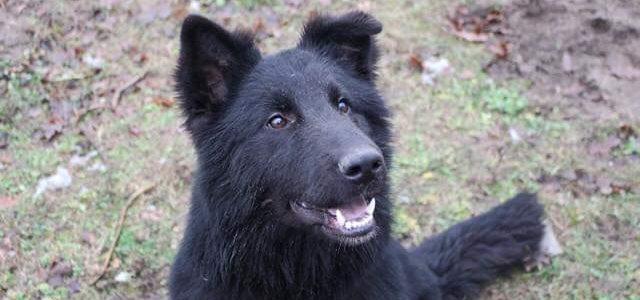 Heban- pies do adopcji
