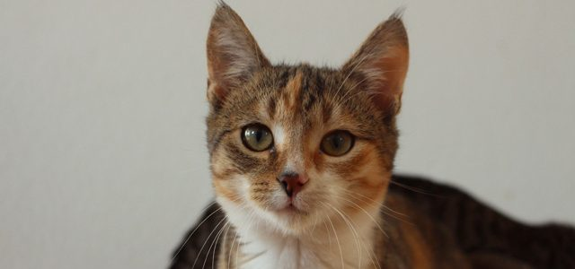 Morgana- kotka do adopcji