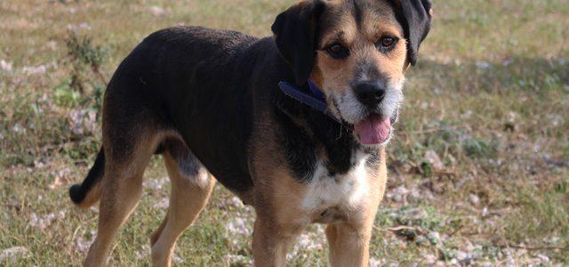 Hunter- pies do adopcji