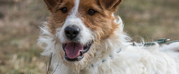 Czak- pies do adopcji