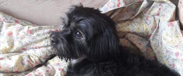 Znaleziono psa- Puławy- odebrany przez właściciela