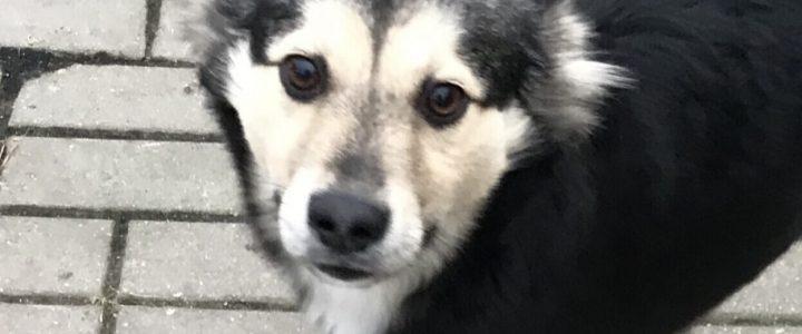 Znaleziono psa- Puławy