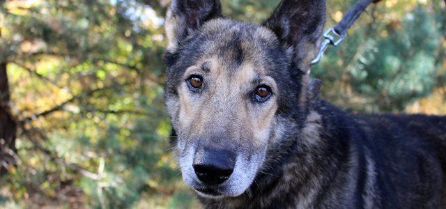 Bosman- pies do adopcji