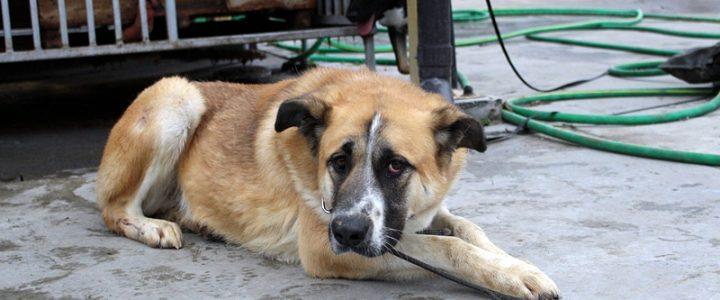 Baron- pies do adopcji
