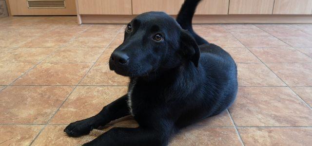 Znaleziono psa- Wola Przybysławska, gm. Garbów