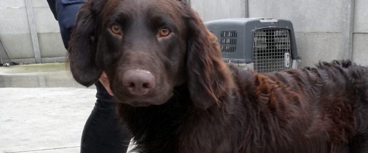 Znaleziono psa (Orzech)- odebrany przez właściciela