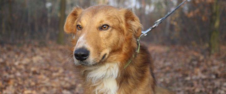 Lopez- pies do adopcji