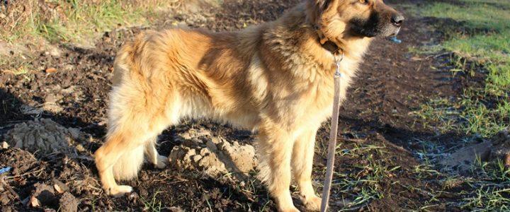Znaleziono psa- Bochotnica gmina Kazimierz Dolny
