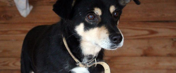 Fikander- pies do adopcji