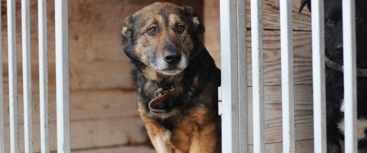Tyson- pies do adopcji