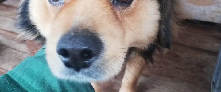 Znaleziono psa- Gutanów, gmina Garbów