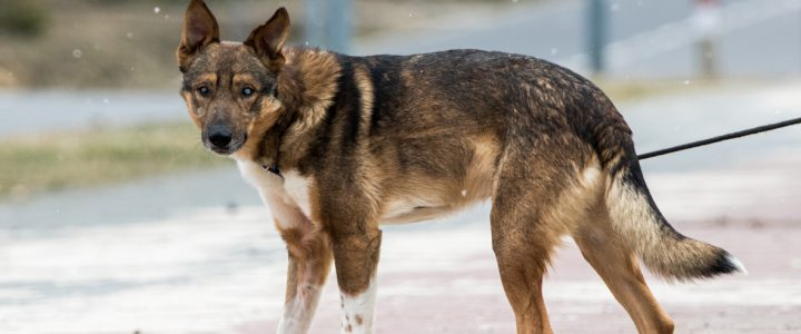 Jankes- pies do adopcji