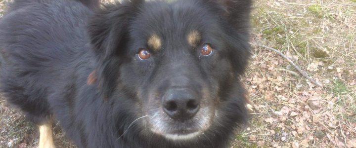 Czart- pies do adopcji