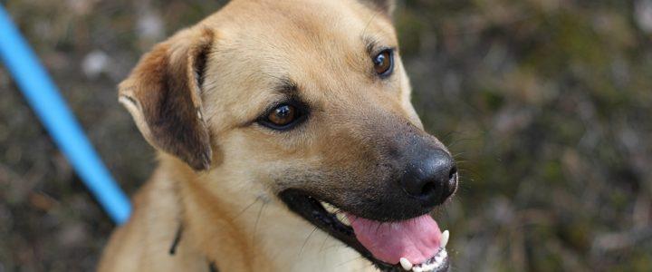 Niko- pies do adopcji