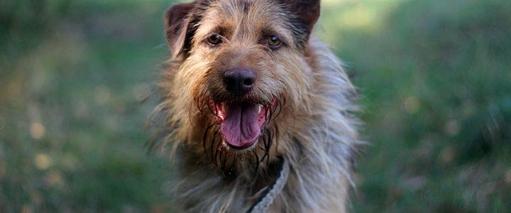 Benji- pies do adopcji