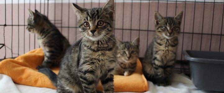 Gabrysia, Gabryś, Gloria i Gucio- kocięta do adopcji od 06.11