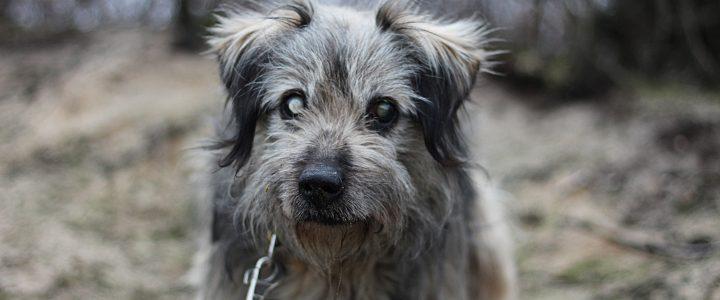 Dredo- pies do adopcji