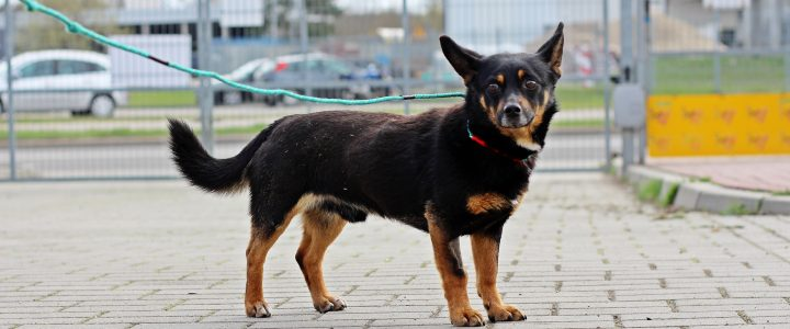 Ralf- pies do adopcji