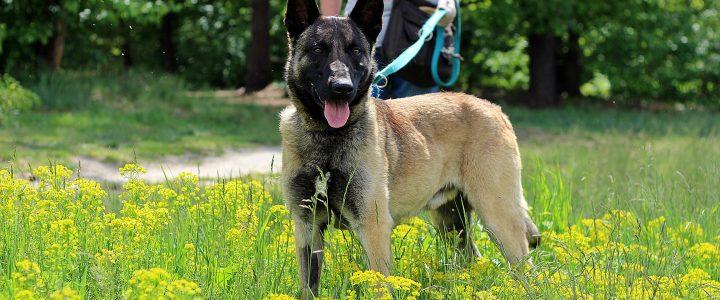 Tosiek- pies do adopcji