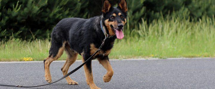 Skaza- pies do adopcji